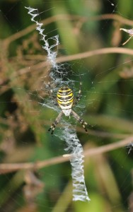 Spiders Who Decorate Their Webs (16 photos) 10