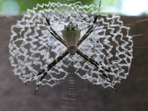 Spiders Who Decorate Their Webs (16 photos) 12
