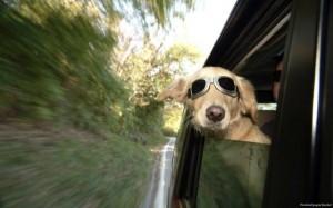 Animals Who Love Riding Shotgun (20 photos) 12