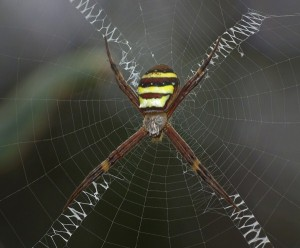 Spiders Who Decorate Their Webs (16 photos) 14