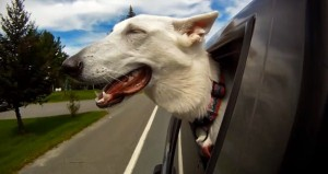 Animals Who Love Riding Shotgun (20 photos) 16