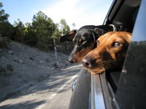 Animals Who Love Riding Shotgun (20 photos) 19