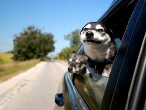 Animals Who Love Riding Shotgun (20 photos) 20