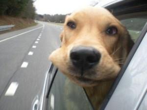 Animals Who Love Riding Shotgun (20 photos) 2