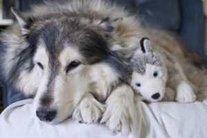 Animals With Stuffed Animals Of Themselves (33 photos) 30
