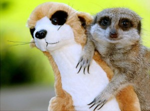 Animals With Stuffed Animals Of Themselves (33 photos) 31