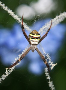 Spiders Who Decorate Their Webs (16 photos) 5
