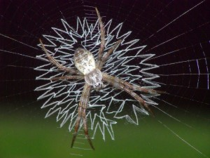 Spiders Who Decorate Their Webs (16 photos) 9