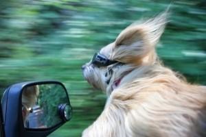 Animals Who Love Riding Shotgun (20 photos) 9