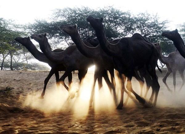 World's Largest Camel Market (23 photos) 16
