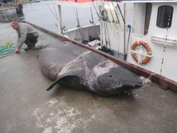2101 Biggest Sharks Ever Caught (8 photos)
