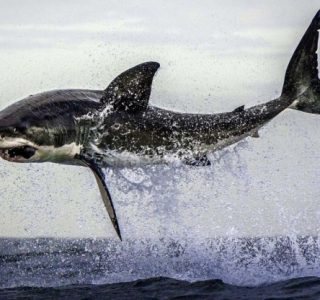 Great White Shark Hunting (6 photos)
