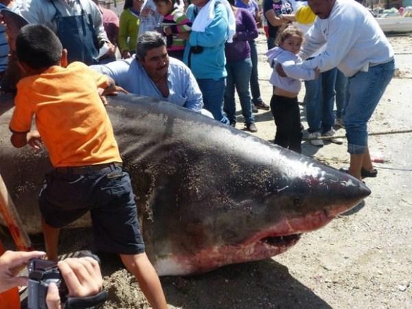 348 Biggest Sharks Ever Caught (8 photos)