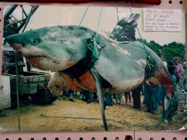 Biggest Sharks Ever Caught (8 photos) 8