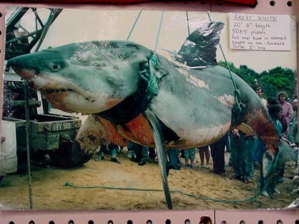 824 Biggest Sharks Ever Caught (8 photos)