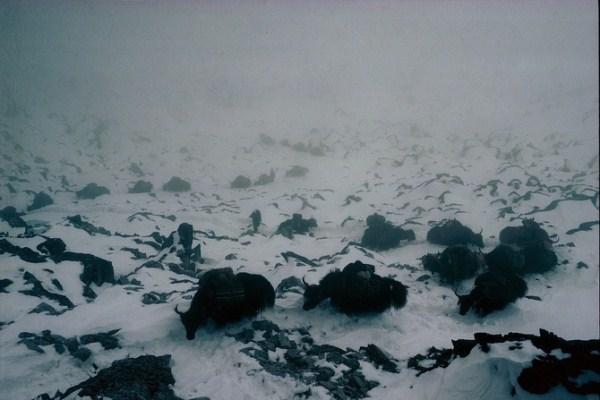 1017 Caravans Of The Himalaya (25 photos)