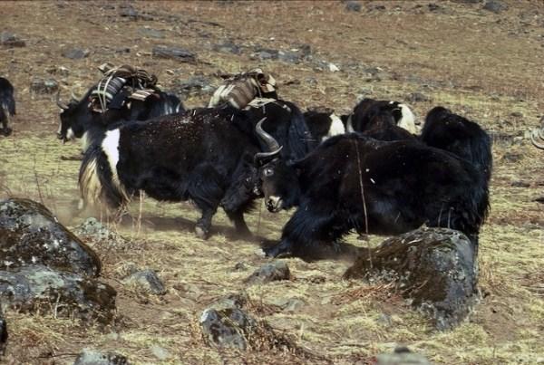 189 Caravans Of The Himalaya (25 photos)