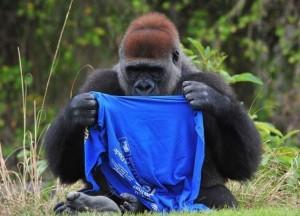 Gorilla vs T-Shirt (7 photos) 1