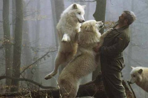 1829 Living With Wolves (30 photos)