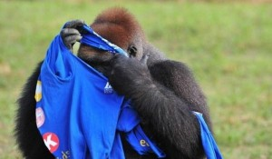 Gorilla vs T-Shirt (7 photos) 2