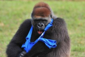 Gorilla vs T-Shirt (7 photos) 4