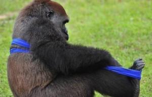 Gorilla vs T-Shirt (7 photos) 5