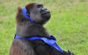Gorilla vs T-Shirt (7 photos) 6
