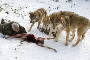 Living With Wolves (30 photos) 6