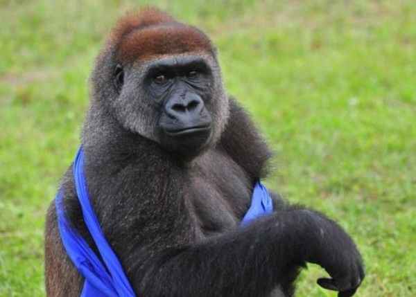 Gorilla vs T-Shirt (7 photos) 7