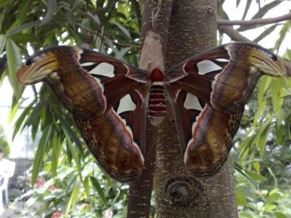 Η μεγαλύτερη πεταλούδα στον κόσμο 1196 (12 φωτογραφίες)