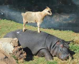 Unlikely Animal Friendships (30 photos) 16