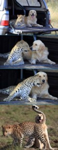 Unlikely Animal Friendships (30 photos) 20