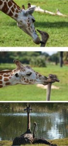 Unlikely Animal Friendships (30 photos) 23