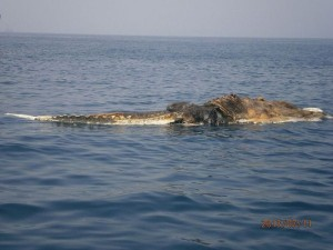 Strange Creature Found in the Persian Gulf (4 photos) 3