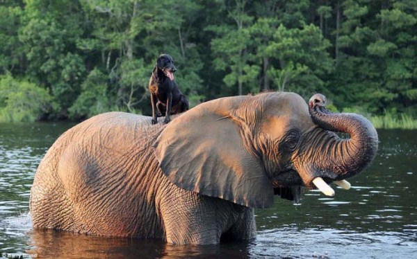 black-labrador-and-elephant (2)