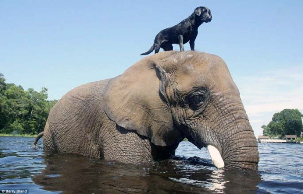 black-labrador-and-elephant (3)