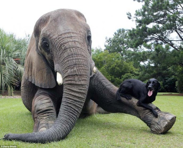 black-labrador-and-elephant (7)