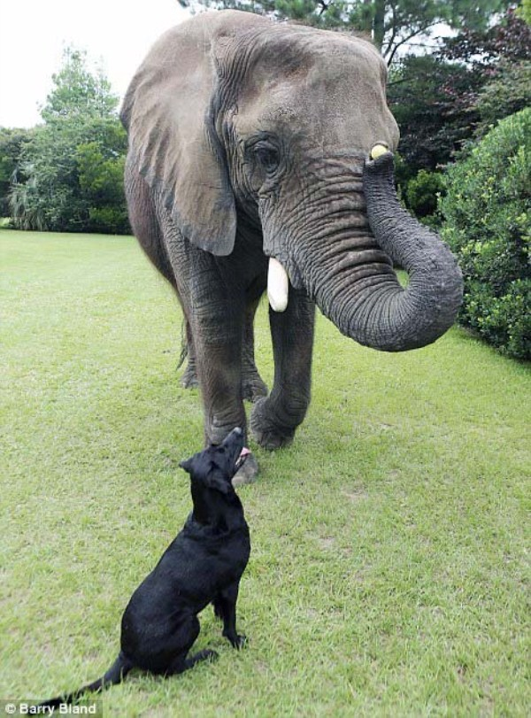 black-labrador-and-elephant (8)