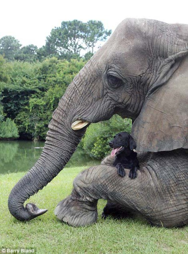 black-labrador-and-elephant (9)