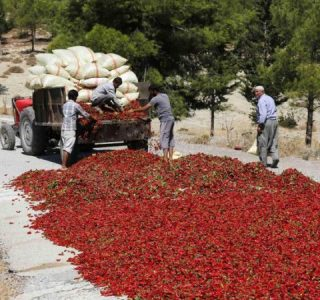 Drying Hot Pepper in Turkey (6 photos)