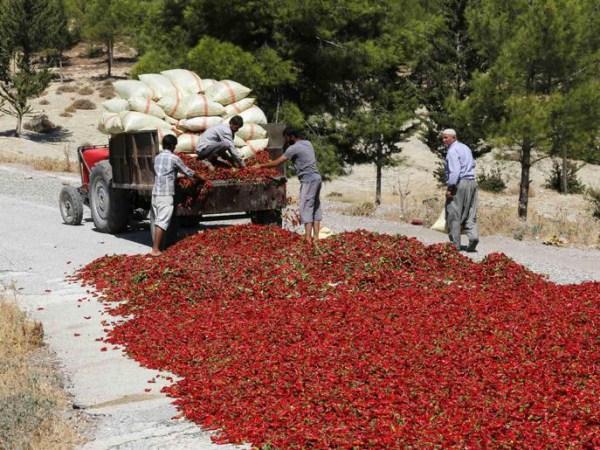 drying-hot-pepper-in-Turkey (1)