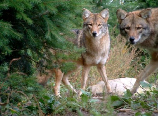 wolves-in-the-wild (1)