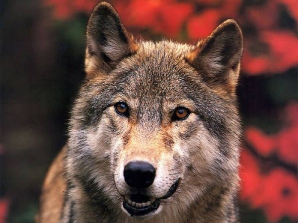 wolves-in-the-wild (11)