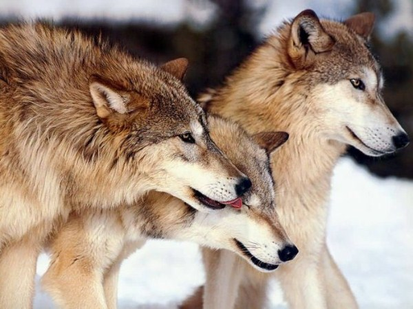 wolves-in-the-wild (15)