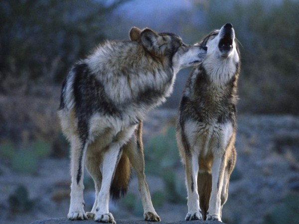 wolves-in-the-wild (19)