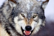 wolves-in-the-wild (22)