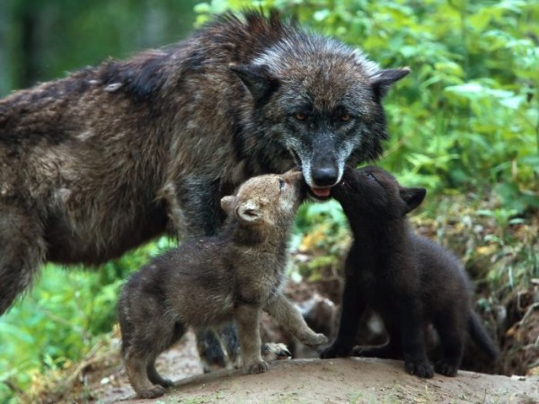 wolves-in-the-wild (23)