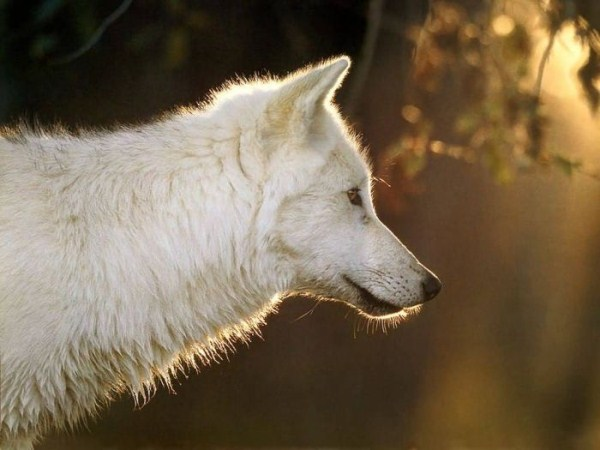 wolves-in-the-wild (25)
