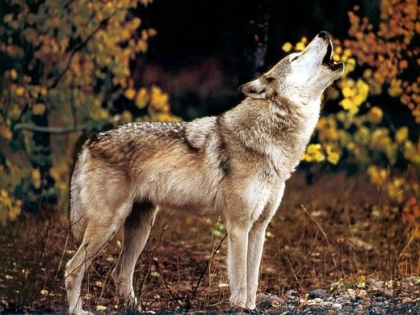 wolves-in-the-wild (26)