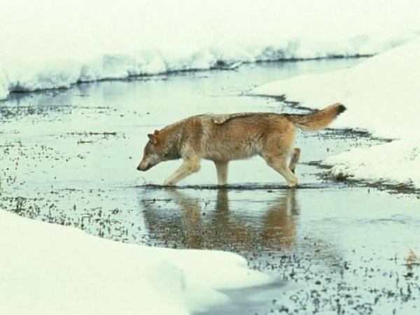 wolves-in-the-wild (27)